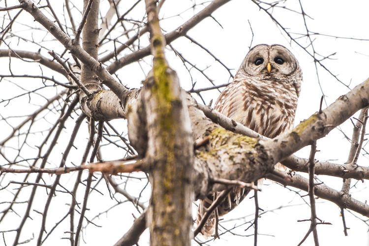 barred owl Owl Barred Owl Animals In The Wild Bird Animal Animal Themes Animal Wildlife Low Angle View Bird Of Prey Outdoors Nature Wildlife