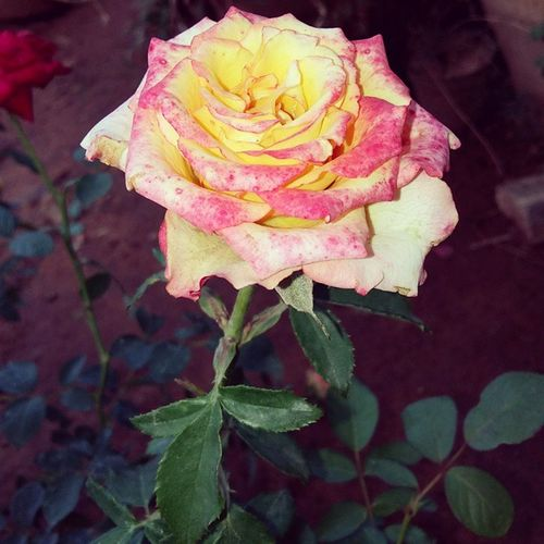 """""""My love is like a rose divided into two, the leaves I give to others, but the rose I give to you. Even if love is full of thorns, I'd still embrace it for I know that in between those thorns, there is a rose that's worth all the pain Have you ever watched a rose as it fades away; the color becomes deeper as the petals dry. That's how my love for you deepens as the days go by."""" Happiii born day My Love!! My Rose!! Instapic Picoftheday Rosé Love health save green love earth earthday 2015 instagood savewater saveearth reducereuserecycle stoppollution softgrunge color tropics blue colors cool happyearthday flowerinstagram flowers petals thorns life tbt jointheark 🔻 அருண்சில்வெஸ்டர்"""