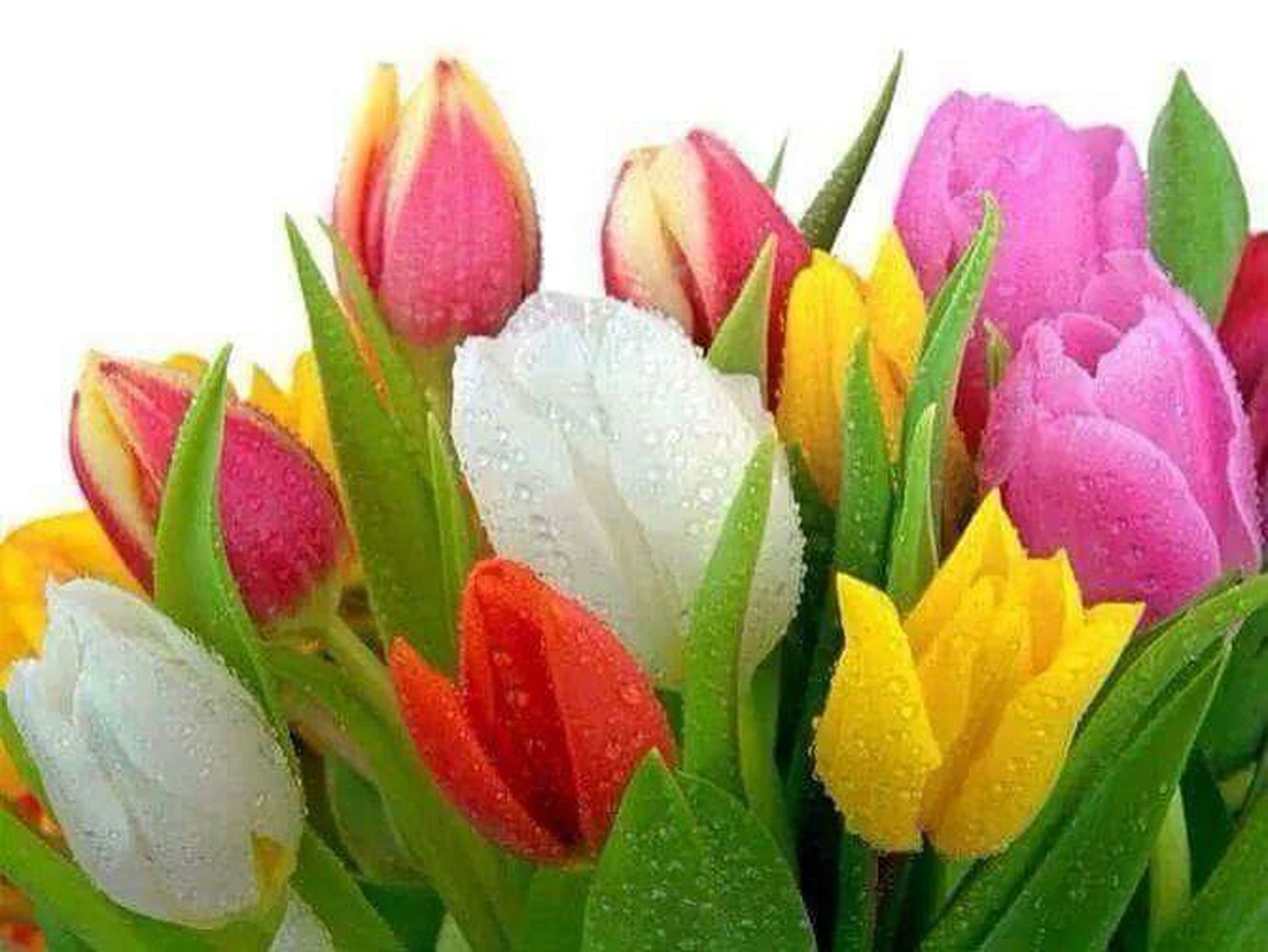flower, freshness, petal, fragility, flower head, beauty in nature, growth, drop, leaf, close-up, plant, nature, blooming, wet, water, red, in bloom, tulip, blossom, no people