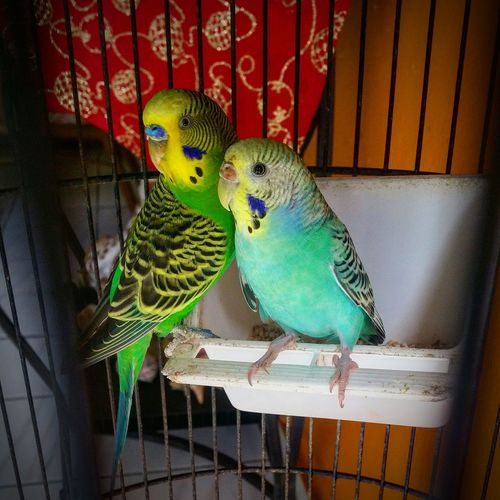 Budgerigar Animal Themes Bird Animals In Captivity Parrot Cage Parakeet Birdcage Perching Indoors  No People Domestic Animals Close-up Day EyeEm Gallery EyeEM Photos