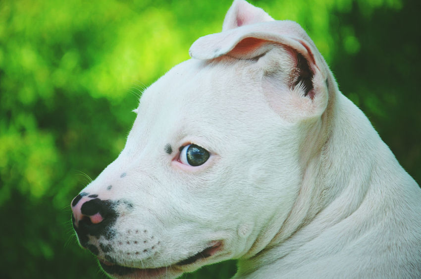 Pets Dog Eye Portrait Domestic Animals Looking At Camera Close-up Cute One Animal Mammal Beauty Pittbull Pittbullpuppy Ears Puppy Cute Animals Cute Pets Animal Themes Outdoors