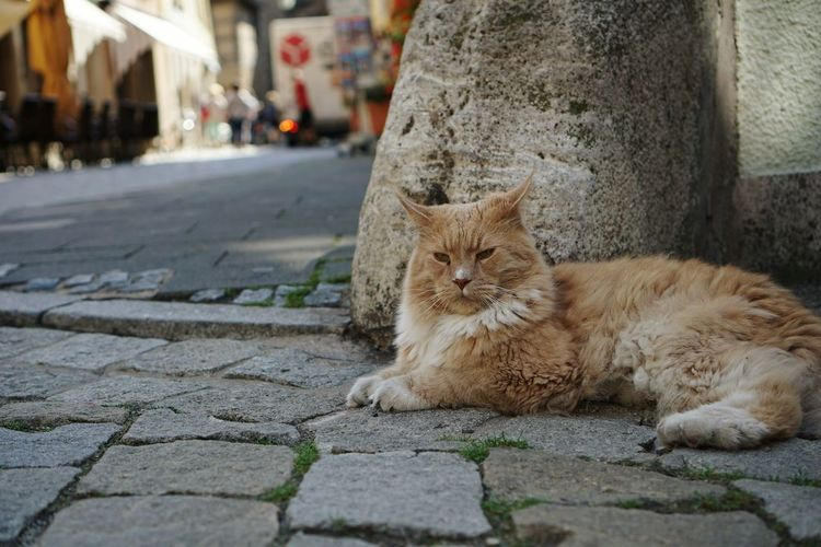 Feline One Animal Looking At Camera Street Mammal Lying Down Animal Themes Day Pets Close-up Cat Domestic Cat