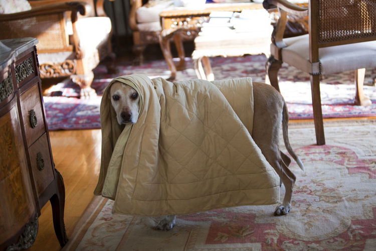 Dog Covered With Blanket Standing On Floor