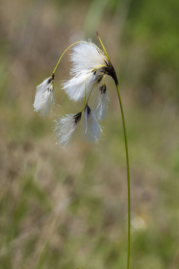 Close-up of white dandelion on field