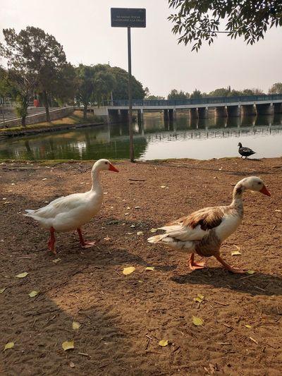 cuack Duck
