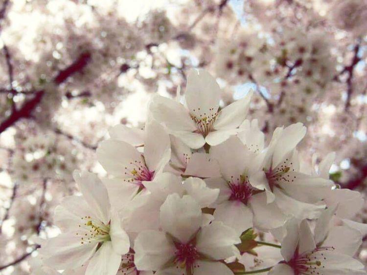 Enjoying The Sun Bloesems Bloesem Blossom Flowers Blossom Tree Blossoms  Lovely