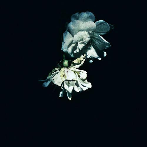 Roseporn Rose🌹 White Rose Midnight In The Garden Of Good And Evil I Never Promised You A Rose Garden