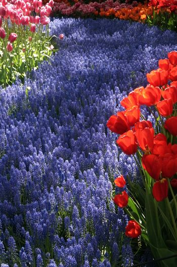 Tulips Grape Hyacinth Grape Hyacinths Hyacinth Keukenhof Keukenhof Garden Outdoors Blue Red River Colourful Colours Of Nature Coloursplash Colours Flower Head Flower Flowerbed Springtime Red Blossom In Bloom The Great Outdoors - 2018 EyeEm Awards