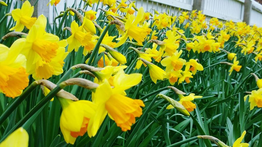 Daffodils Daffodil Flowers Flowers, Nature And Beauty Yellow Yellow Flower Spring Flowers Spring Has Arrived Easter Westgate Fields Louth Lincolnshire