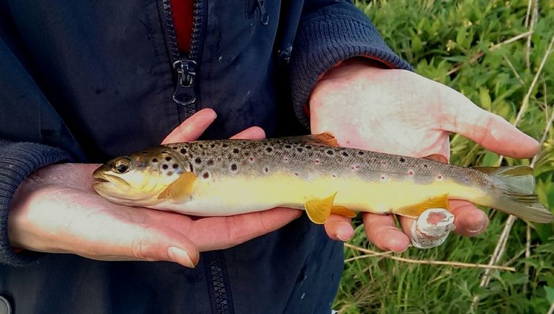 Another stunning wild broony Check This Out Fishing Troutfishing Browntrout Fish Relaxing TheGreatOutdoors Wildlife & Nature Wildtrout Burnside  Hanging Out Enjoying Life Fishing Time Fisherman Fishphotography Fishporn Colourful Catchandrelease My Hobby Hobbyphotography