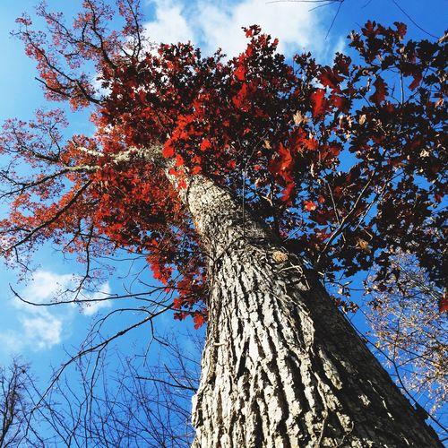 Burr Oak Tree Oak Tree Tree Tree Trunk Growth Nature Branch Low Angle View Sky Autumn
