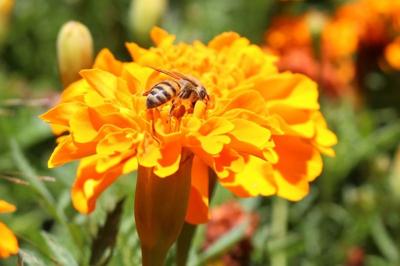 bee in flower 😊 nature_collection nature_collection naturelovers Nature O Naturelovers Naturephotography Nature_collection Landscape_collection EyeEmNatureLover Landscape_photography Eyemnaturelover Inthebackground God Is Great. Colorsplash Natureisperfect Gods Creation Flower Bee Flowers Fullbloom Canon Canonphotography Crafted Beauty Pollination Marigold Blooming Animals In The Wild Petal Beauty In Nature One Animal Animal Themes Freshness Focus On Foreground Fragility Animal Wildlife