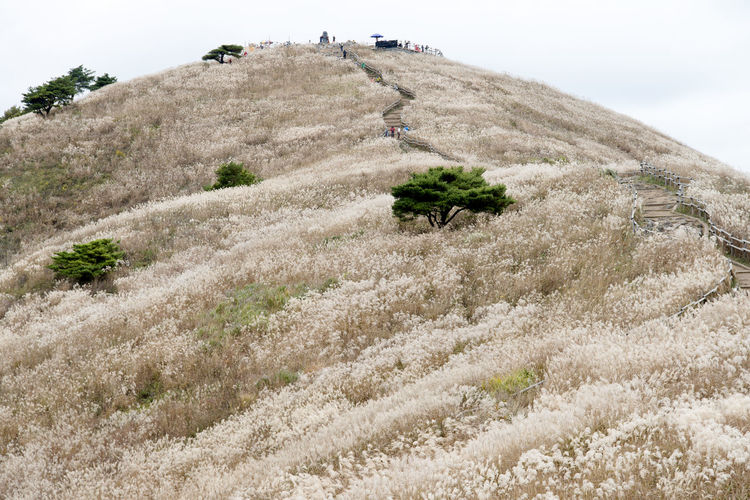 autumn landscape of Mindeungsan Mountain in Jeongseon, Gangwondo, South Korea. Mindeungsan is famous for autumn silver grass. Jeongseon Mindeungsan Silver Grass Adventure Beauty In Nature Day Grass Hiking Landscape Nature Outdoors Plant Real People Scenics Silvergrass Sky Tranquility Tree