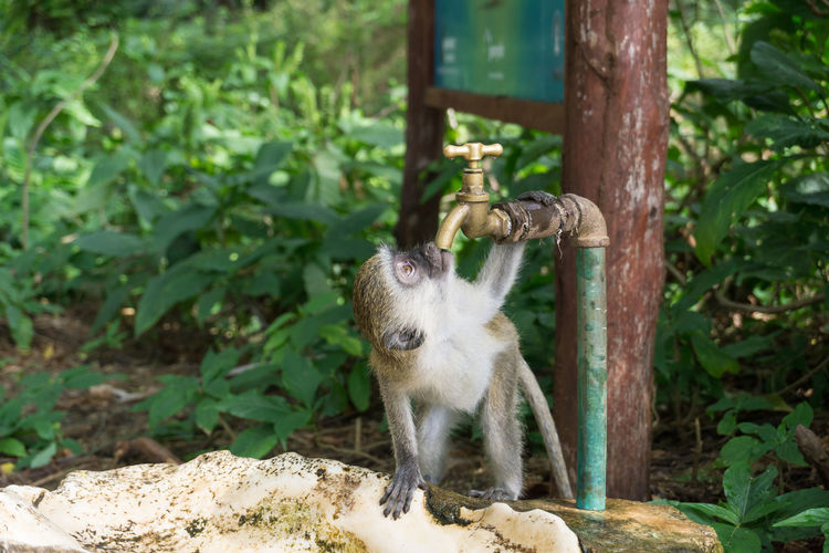 """""""I'm so thirsty..."""" - I saw this little guy walking around the water place, so I waited after someone washed his hands in it and he came back :) Zoo Water Travel Travel Destinations Sony A6000 Kenya Nature Nature Photography Animal Animal Wildlife Animals Wildlife Wildlife Photography Africa Fur Furry EyeEmNewHere Ape Monkey Close-up Primate"""