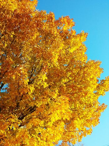 Bright sky Fall Colors Blue Sky Autumn Colors Fall Leaves Yellow Leaves Newhampshire