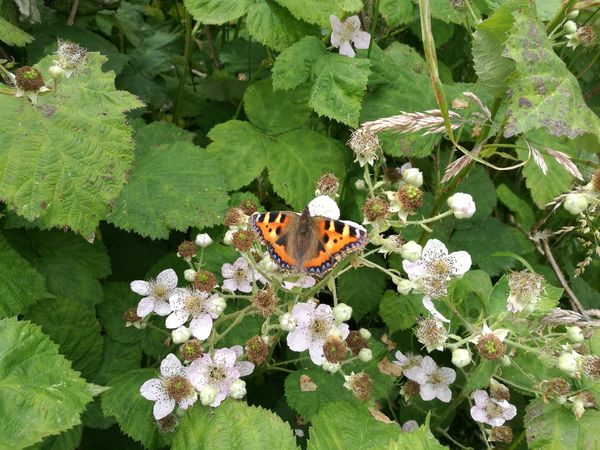 Butterfly Butterfly On Flower Blackberry Flowers Blackberry Blossom Butterfly On Blackberry Flowers