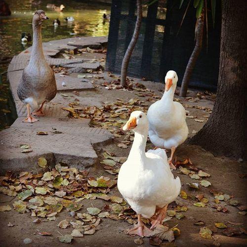 Papere Autumncolors 9vaga_dt2_autumn9 Leaves Citipark Italy Ducks Goose