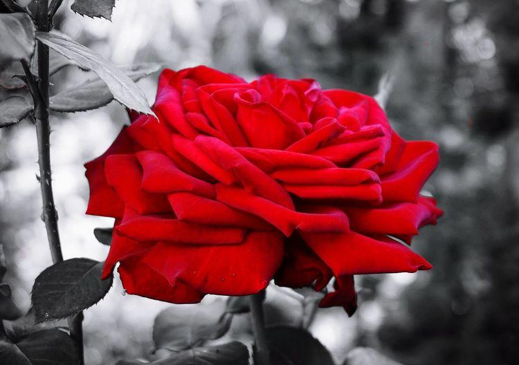 Wild Rose Red