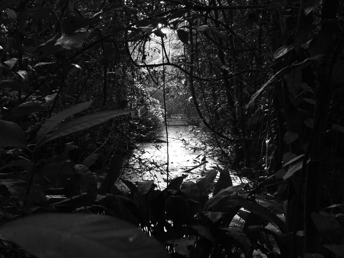 A tranquil stream in the lush growth in the Kumarakon Bird Sanctuary Tree Growth Nature No People Plant Leaf Forest Beauty In Nature Tranquility Low Angle View Outdoors Woods Stream Blackandwhite Black And White Photography Tranquil Scene