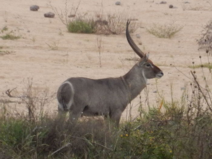 Animal Themes Animals In The Wild Male Waterbuck Mammal Nature One Animal Waterbuck