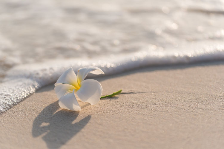 Close-up of white flower on sand