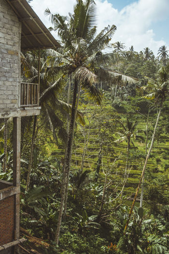 Bali Beauty In Nature Coconut Trees INDONESIA No People Outdoors Rice Field Rice Terraces Scenics Tegalalang Tranquility Tree