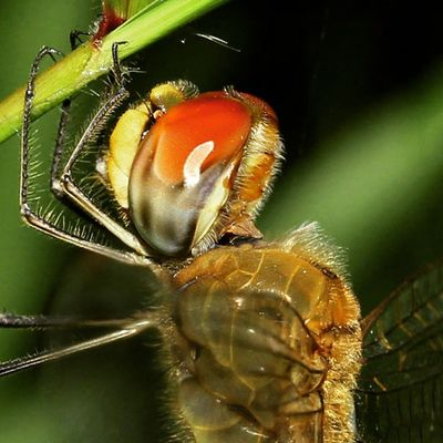 Red helmet. Dragonfly_of_the_day Dragonflies Ig_dragonflies
