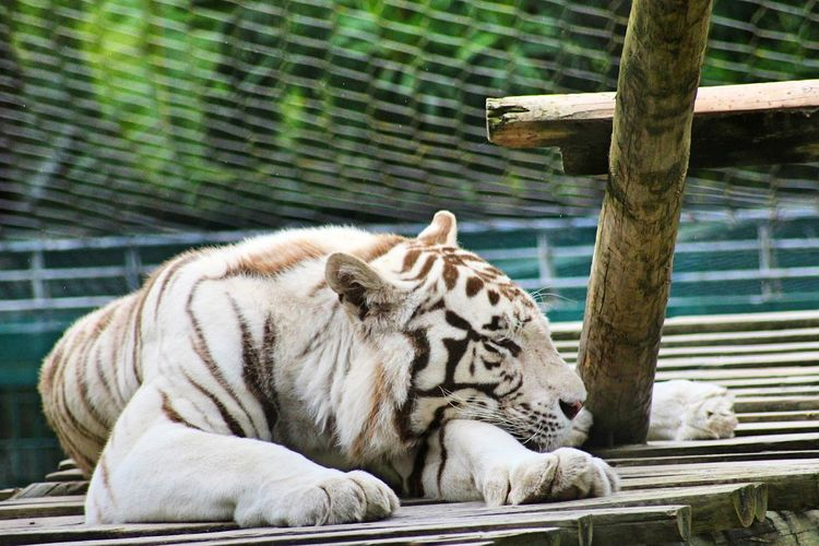 White tiger resting on wood in zoo