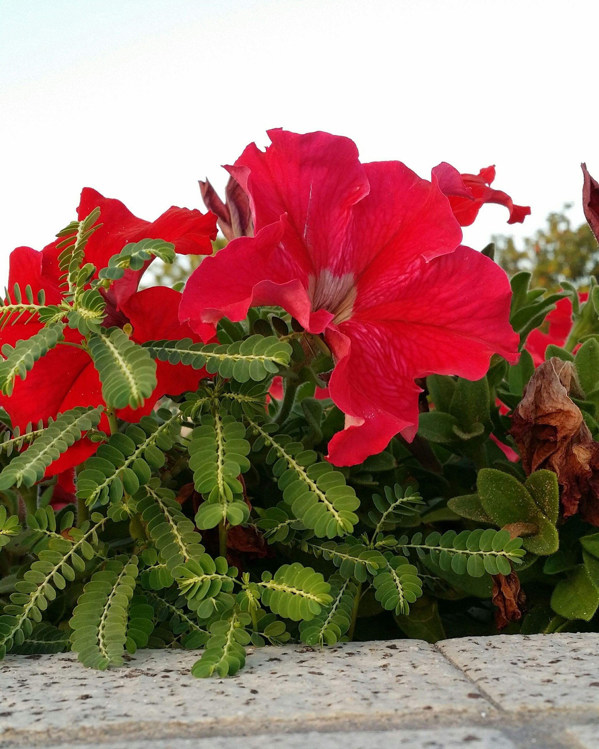 red, flower, clear sky, growth, freshness, fragility, leaf, plant, beauty in nature, nature, close-up, petal, day, green color, copy space, flower head, outdoors, blooming, no people, focus on foreground