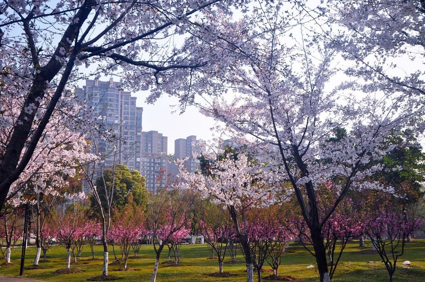 Spring Time 🌻 In The City Park Flower Collection No People In The Park Beauty In Nature Cherry Blossom Flower Photography Colorful Nature Tree And Flowers