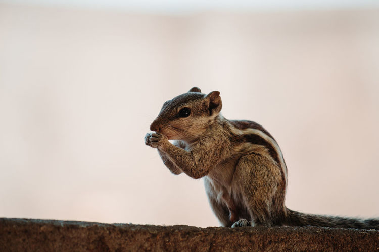One Animal Animal Themes Rodent Animal Animal Wildlife Chipmunk Mammal Focus On Foreground Animals In The Wild Squirrel No People Close-up Side View Nature Vertebrate Brown Day Land Outdoors Profile View
