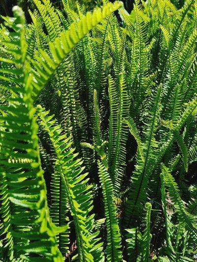 ferns Tree