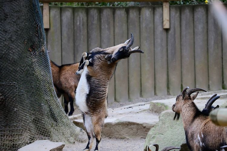 Goat standing in a fence