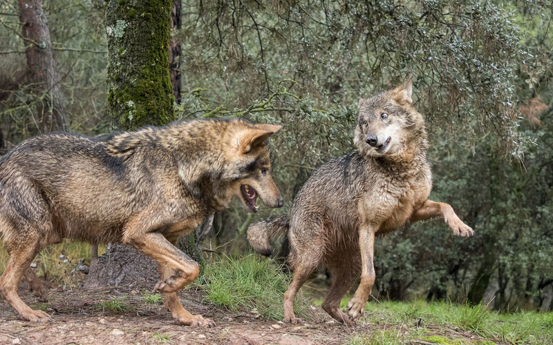 Couple of iberian wolves flirting Animals In The Wild Couple Flirtationship Forest Happiness Heat Love Mammal Mate Nature Pair Playing Playtime Predator Season  SPAIN Sweet Tenderness Wild Wilderness Wildlife Wildlife & Nature Wildlife Photography Wolf WOlves
