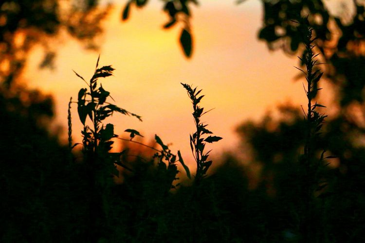 Summer Skies Sunlight Sunset EyeEmNewHere Plant Silhouette Growth Close-up Focus On Foreground Upclose  Plants Walking Around Taking Pictures Outdoors Nature Blurred Background Blurred Perspective France Sunset Silhouette Sunset And Clouds  Orange Color EyeEm Best Shots