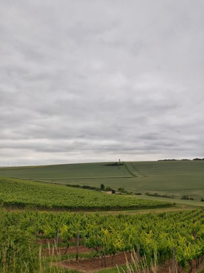 Agriculture Field Rural Scene Growth Landscape Nature Cloud - Sky In A Row Cultivated Land Hill Beauty In Nature Scenics No People Outdoors Sky HuaweiP9Photography Huaweiphotography Vineyard Cultivation Vineyard Landscapes Scenic Rheinhessen Beauty In Nature