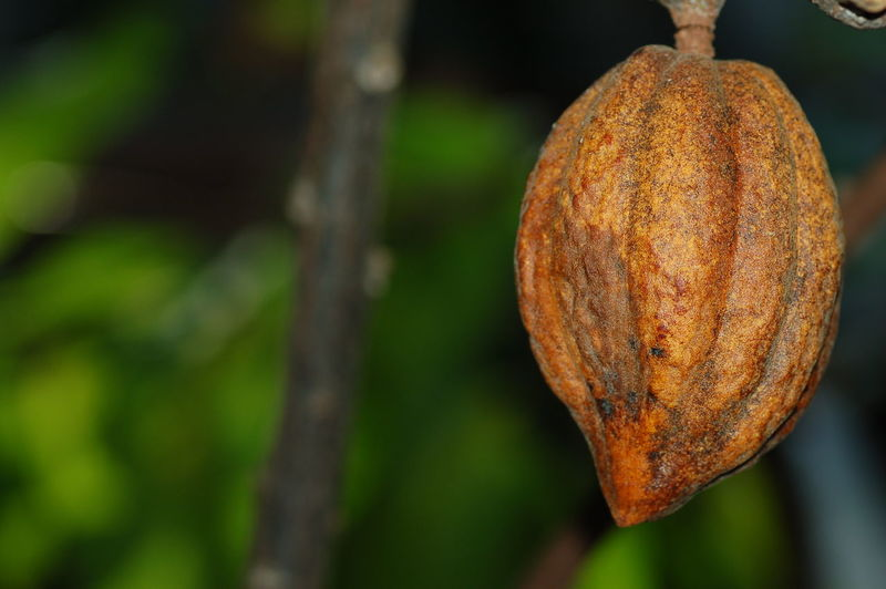 love cacao! Cacao Nature Chocolate カカオ カカオポッド 植物 Naturaleza Naturaleza🌾🌿 Naturaleza🌵🌻🎶