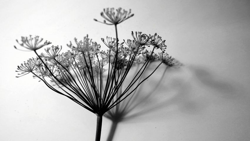 filigran EyeEm Best Shots EyeEm Nature Lover EyeEm Best Edits EyeEm Best Shots - Black + White Natural Structures Blackandwhite Atmospheric Mood Still Life Backgrounds Botanical Structures In Nature Structures Interior Shadows & Lights Shadowplay Beauty In Nature Silhouette Silence Flower Head Flower Uncultivated Close-up Plant Plant Life Botany Blooming Pollen