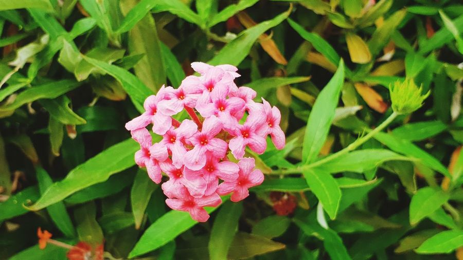 Flower Head Flower Leaf Pink Color Close-up Plant Green Color