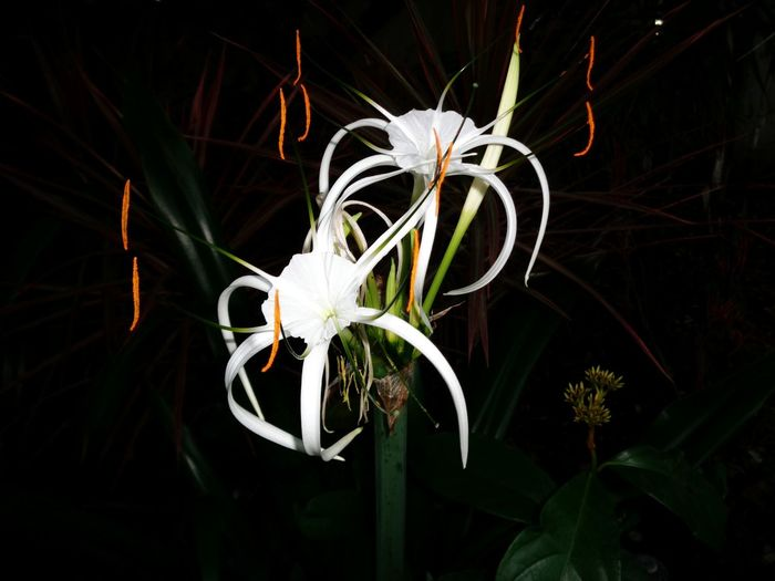 Flower Fragility Freshness Growth White Color Petal Flower Head Night Plant Beauty In Nature Close-up In Bloom Black Background Nature Blossom Springtime Blooming Botany Dark Single Flower