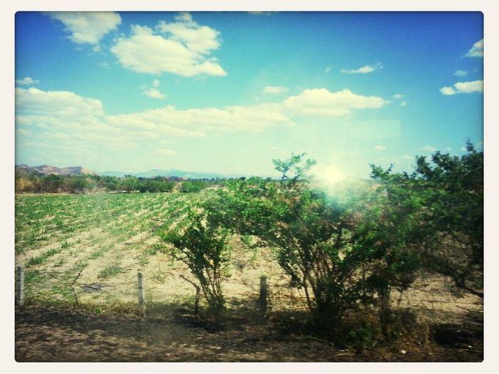 Cultivos de la caña de azúcar...