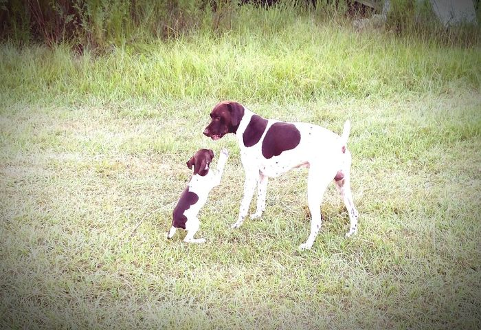 Pet Photography  Father & Son Pookie  Gsp Dogs Of EyeEm Dogs Pointer Animal Photography Florida Life Dogslife Puppy Love