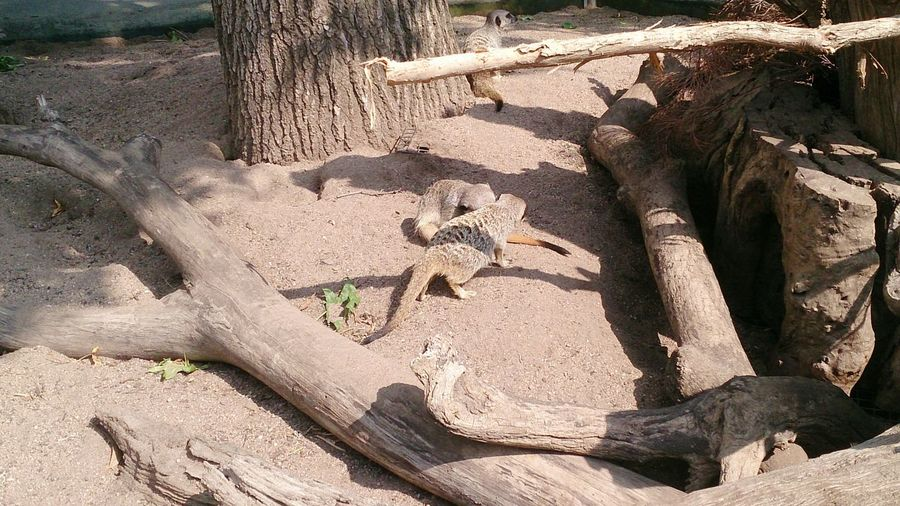 The Meerkats were having fun bashing and biting each other and was funny watching them Meetkats Hanging Out Taking Photos Check This Out Enjoying Life Sony Xperia Photography. Sonyxperiaz Melbourne Victoria Australia Melbournezoo RoyalMelbourneZoo Sony 43GoldenMoments