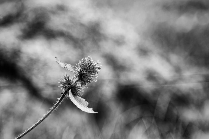 Imperfection - Black & White Black And White Close-up Dead Plant Edit Exceptional Photographs Faded Fine Art First Eyeem Photo Flower Head Focus On Foreground Fragility Hello World Imperfection Macro Melancholic Nature Nature's Diversities Plant Showing Imperfection Softness Spiked Stem Tranquility Unfocused