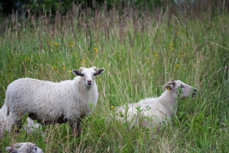 Goat Sheeps Grass Mammal Domestic Animals Animal Animal Themes Domestic Plant Pets Field Livestock Land Vertebrate No People Nature Day Herbivorous