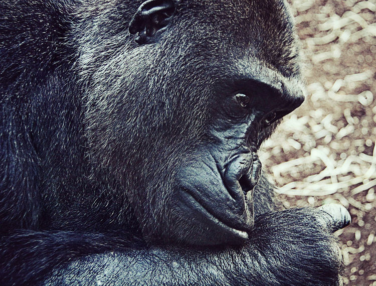 Gorilla with sad expression, animal portrait Animal Themes Animal Wildlife Animals In The Wild Close-up Day Emotions Endangered Species Expressive Sculpture Gorilla Mammal Nature No People One Animal Outdoors Portrait Sad Thoughtful