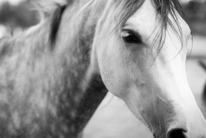 At The Stables Animals Arabian Horse B&w Black And White Close-up Dof Eye Focus Focus On Foreground Gray Hair Horse Horses Livestock Low Key Skin Stables