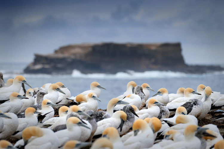 Animals In The Wild Group Of Animals Animal Wildlife Bird Sea Animal Themes No People Large Group Of Animals Selective Focus Beauty In Nature Land Flock Of Birds Day Nature Colony Point Danger Portland Victoria Australasian Gannet Lawrence Rock