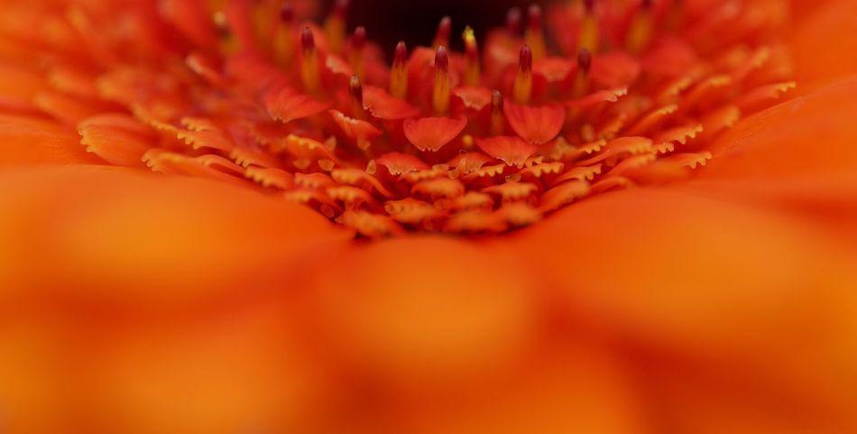 Close-up Colour Elégance Flower Flower Head Flowers Indoors Fragility Freshness Macro Work Macro World No People Orange Color Orange Flowers 😍🌺🌺🌺 Petal Softness Springtime