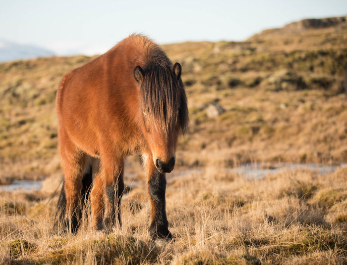 Animal Wildlife Close-up Field Focus On Foreground Icelandic Horse Mountain Nature No People One Animal